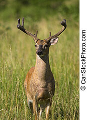 Portrait of a White Tailed Deer in a field at the edge of a...