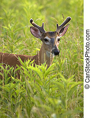 Young White Tailed Deer Buck