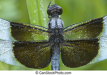 Close-Up shot of a blue dragonfly Libellula luctuosa; Widow...