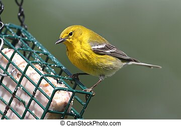Pine Warbler (Dendroica Setophaga pinus) on a feeder in...