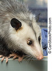 Portrait of a cross-eyed opossum