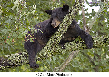 A Black Bear Ursus Americanus sleeping in a tree