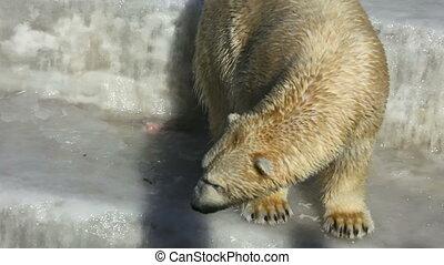 Polar Bear. - Polar bear. Novosibirsk ZOO.