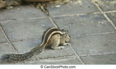 Chipmunks searching food on the pavement.