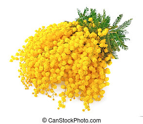 Twig of mimosa flowers on white background