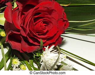 the blossom of a red rose