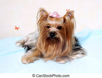 Small Yorkshire Terrier Dog Lying Down - small yorkshire...