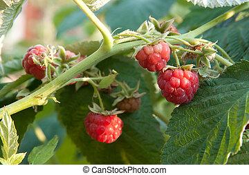 raspberrycane