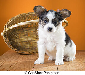Papillon Puppy sitting near wicker basket on a orange...