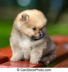 Little fluffy Pomeranian puppy - Portrait of a little fluffy...