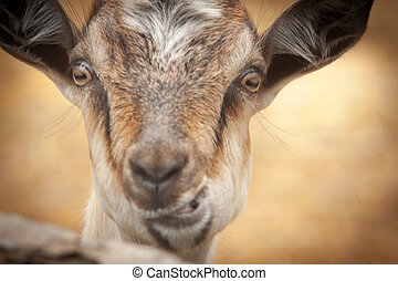 Portrait of funny goat looking to camera - Portrait of a...