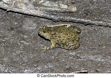 Fire-bellied Toad sitting around drying puddles in the...