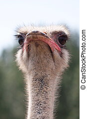 Ostrich - Curious bird ostrich in macro, just head