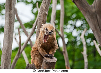 Ring-tailed coati yawns - Ring-tailed coati N Nasua yawns