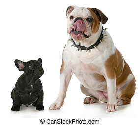 big dog small dog - big and small dog - small french bulldog...