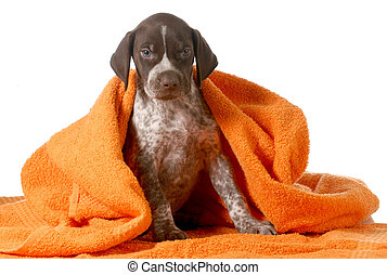dog bath - german shorthaired pointer getting dried off by...