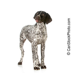 silly dog - funny dog - german shorthaired pointer sticking...
