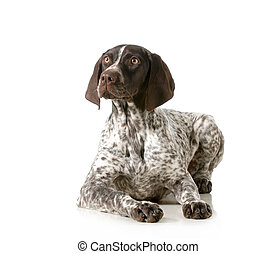 german shorthair pointer laying down isolated on white...