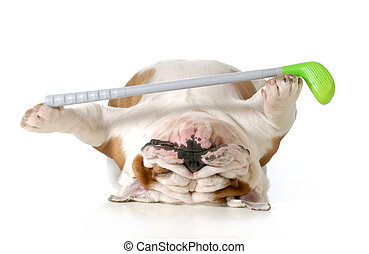 retired dog - english bulldog laying down holding golf club