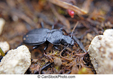 Alpine ground beetle - Mountanious ground beetle