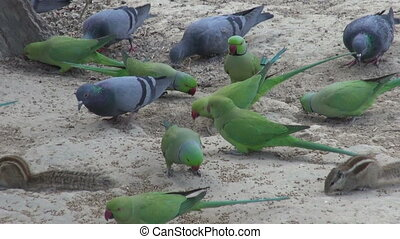 pigeons and parrots eating grains