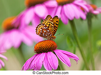 Fritillary butterfly on coneflowers - Fritillary butterfly...