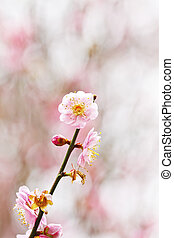 Plum blossoms blooming