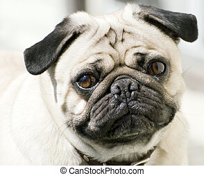 Cute Pug - Close-up of a Pugs face
