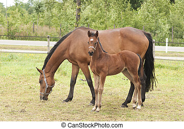 mare and foal  - horses in the field on a farm
