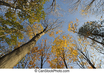 Autumn Treetops - Wide angle photo looking up into the...