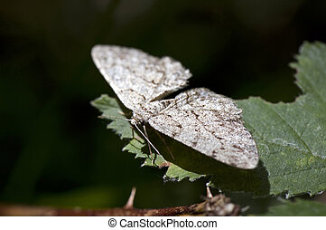 Geometer moths - Butterfly sitting on a leaf