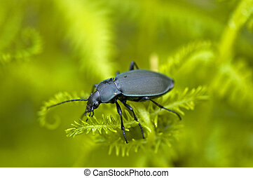 Mountainious ground beetle - Ground beetle on a fern