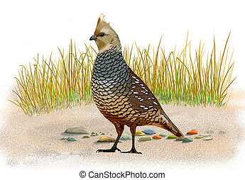 Scaled Quail Callipepla squamata computer painting