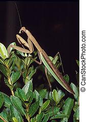 Praying Mantis Portrait - A praying mantis or Chinese Mantid...