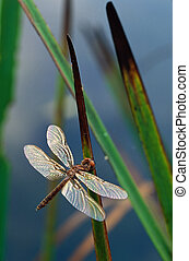 Dragonfly on Cattail Leaves - Dragonfly with shiny wings...