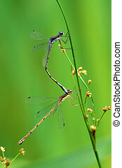 Mating Dragonflies - A pair of dragonflies mating