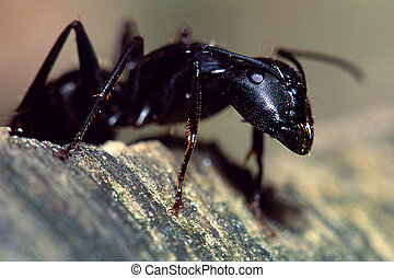 Carpenter Ant Portraitq - Extreme close-up of a Carpenter...