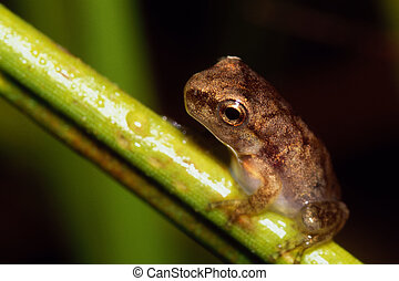 Tree Frog on a Blade of Grass - A tiny tree frog on a grass...