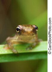 Tiny Tree Frog Lookin At Ya - A tiny tree frog on a blade of...