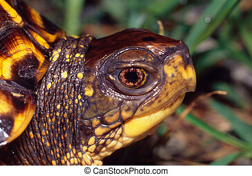 Eastern Box Turtle Portrait - Portrait of an Eastern Box...
