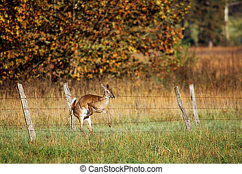 White Tailed Deer crashing into fence - A white tailed deer...
