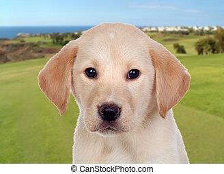 Beautiful Labrador retriever puppy