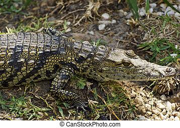 American Crocodile - Juvenile American Crocodile