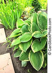 Hosta in garden - Hosta in summer garden