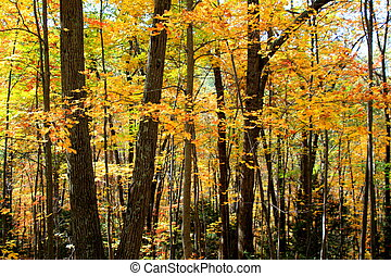 Yellow Forest - Thick growth of trees and underbrush in...