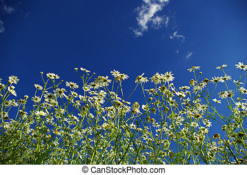 camomiles - Camomiles on blue sky background