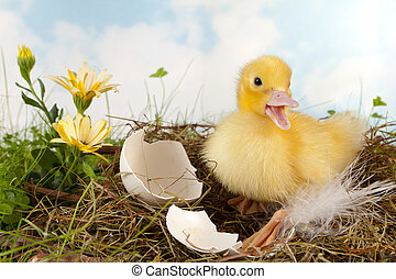 Duckling calling - Little duckling on its nest calling for...