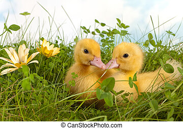 Two ducklings in grass - Clover garden with two cute easter...