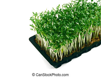 Garden cress in tray isolated on white