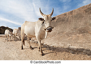 Cows on the road, Hampi, India
